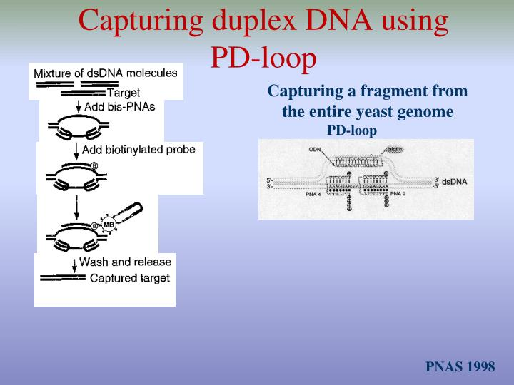 Capturing duplex DNA using PD-loop