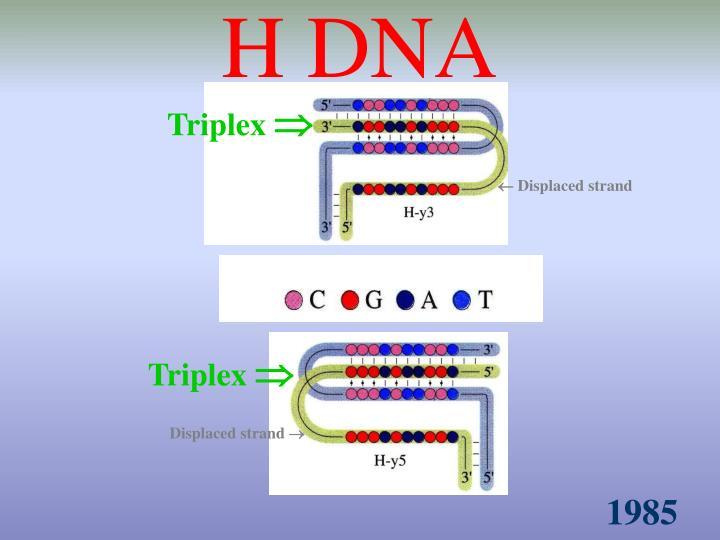 H DNA