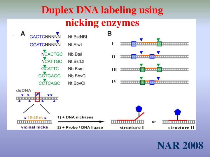 Duplex DNA labeling using nicking enzymes