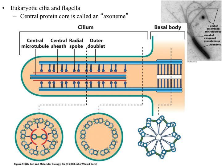 Eukaryotic cilia and flagella