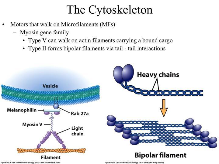 The Cytoskeleton