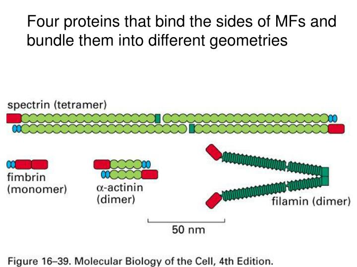 Four proteins that bind the sides of MFs and