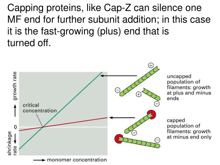 Capping proteins, like Cap-Z can silence one