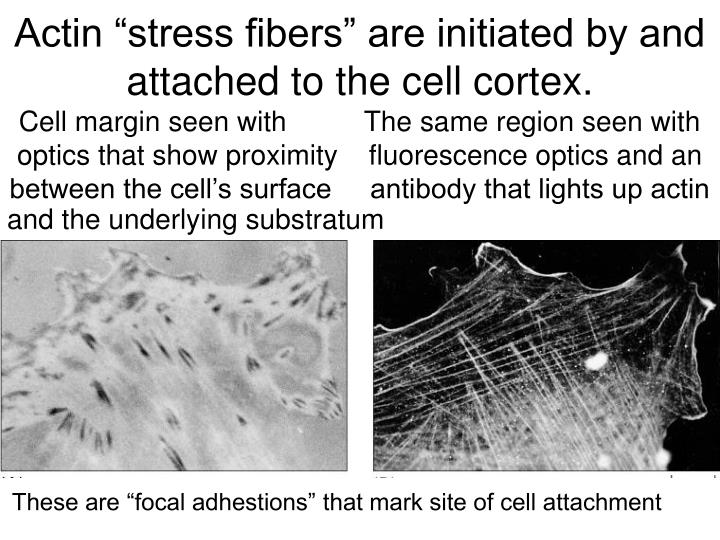 "Actin ""stress fibers"" are initiated by and attached to the cell cortex."
