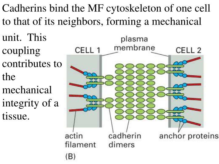 Cadherins bind the MF cytoskeleton of one cell to that of its neighbors, forming a mechanical