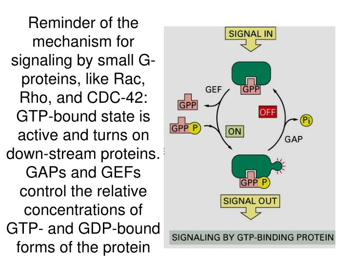 Reminder of the mechanism for signaling by small G-proteins, like Rac, Rho, and CDC-42: GTP-bound state is active and turns on down-stream proteins.  GAPs and GEFs control the relative concentrations of GTP- and GDP-bound forms of the protein