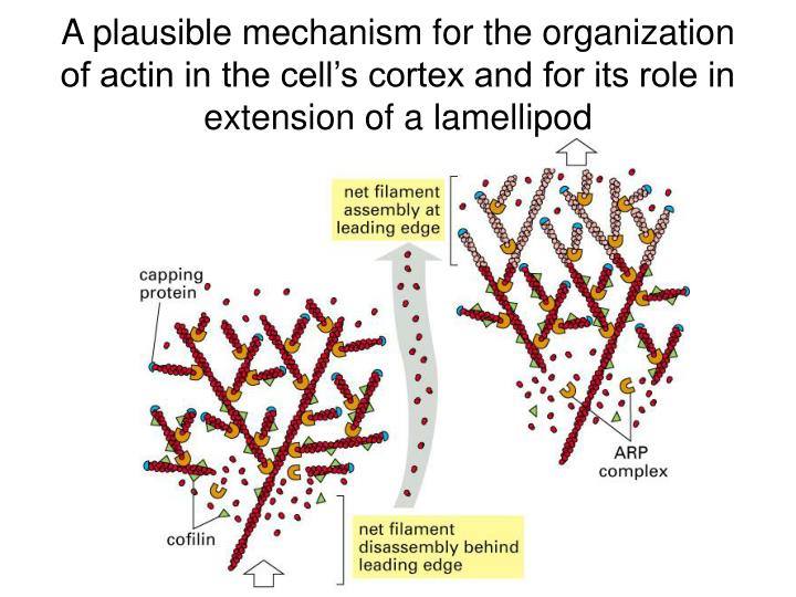 A plausible mechanism for the organization of actin in the cell's cortex and for its role in extension of a lamellipod
