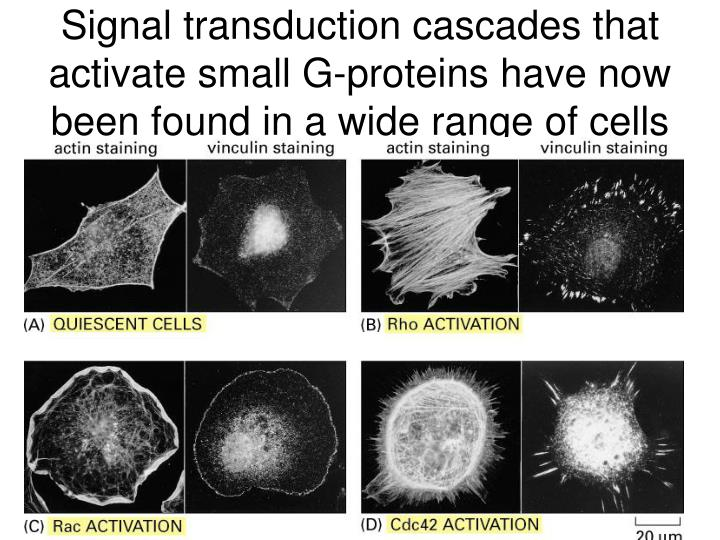 Signal transduction cascades that activate small G-proteins have now been found in a wide range of cells
