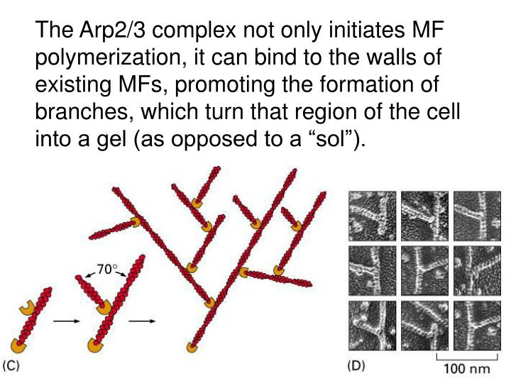The Arp2/3 complex not only initiates MF