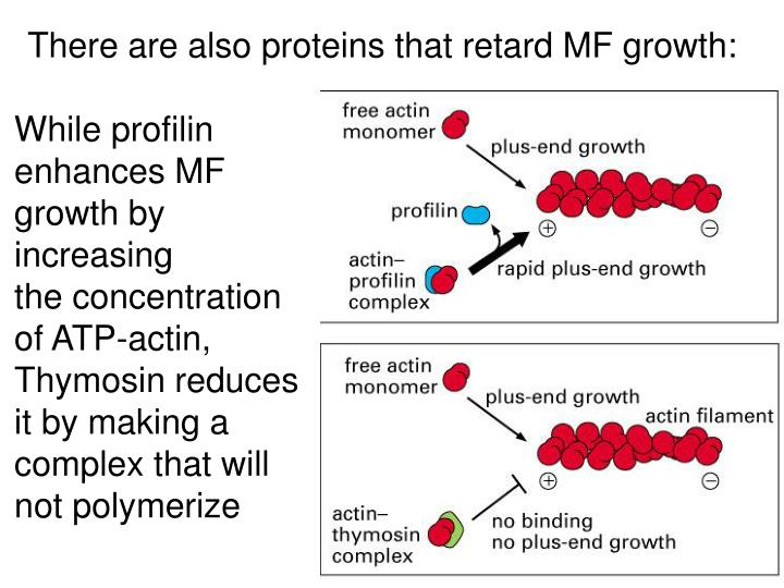 There are also proteins that retard MF growth: