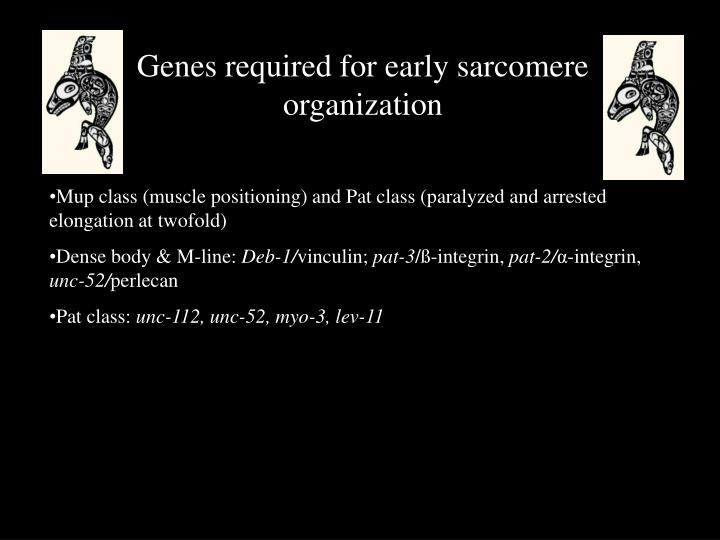 Genes required for early sarcomere organization