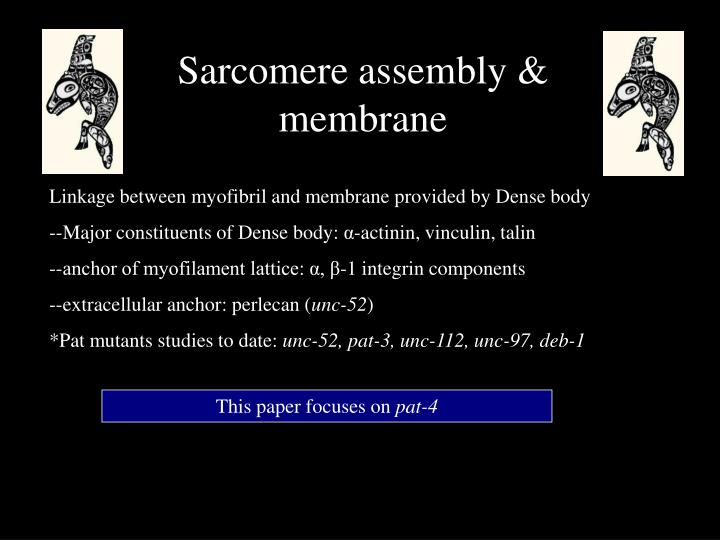 Sarcomere assembly & membrane