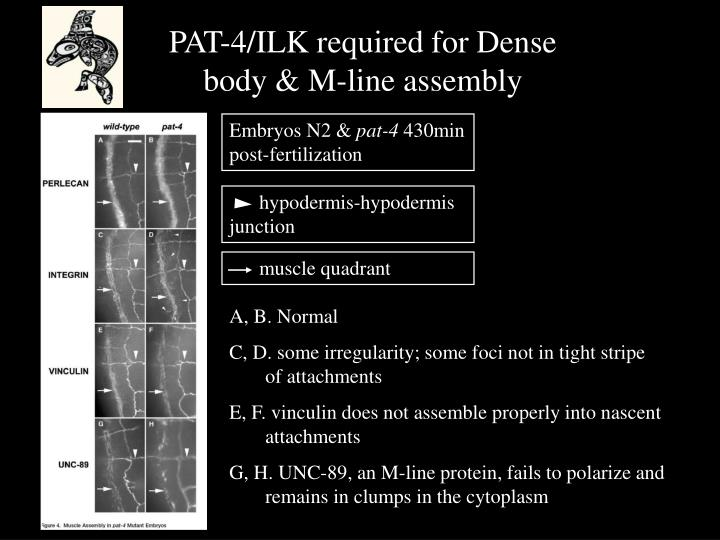 PAT-4/ILK required for Dense body & M-line assembly
