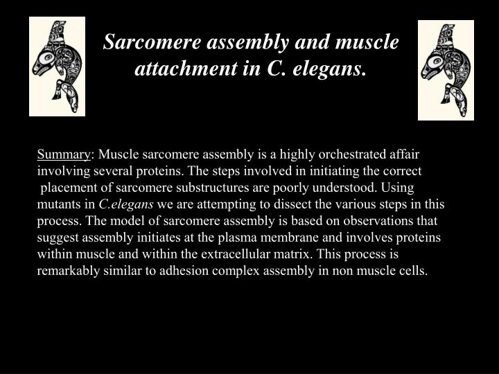 Sarcomere assembly and