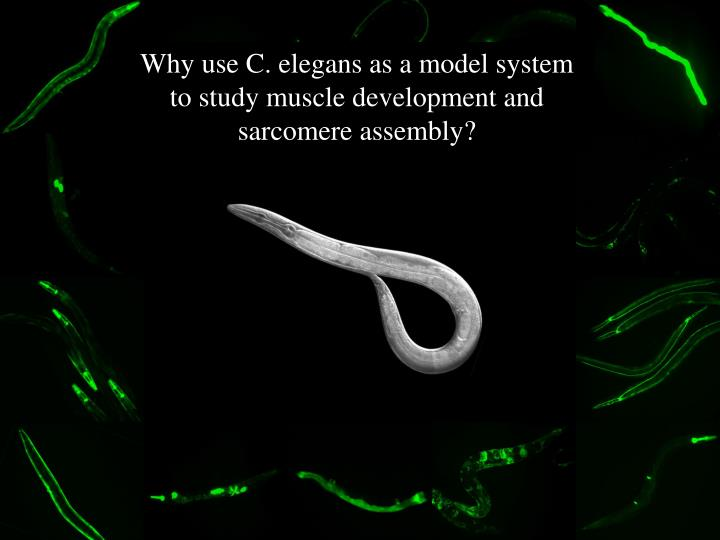 Why use C. elegans as a model system to study muscle development and sarcomere assembly?