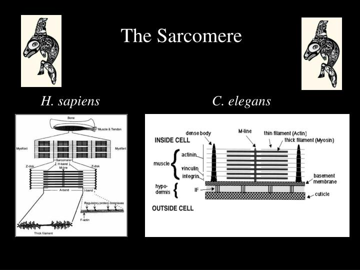 The Sarcomere