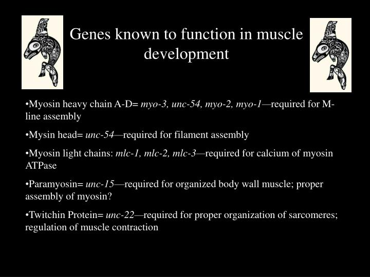 Genes known to function in muscle development