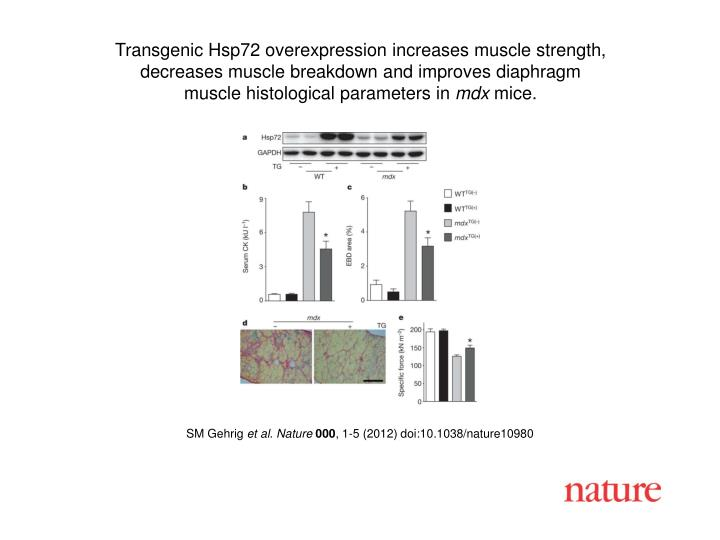 Transgenic Hsp72 overexpression increases muscle strength,