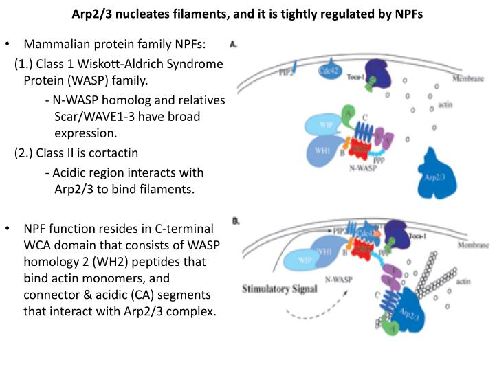 Arp2 3 nucleates filaments and it is tightly regulated by npfs