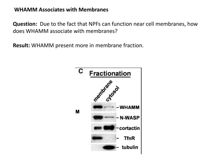 WHAMM Associates with Membranes