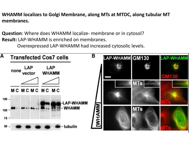 WHAMM localizes to Golgi Membrane, along MTs at MTOC, along tubular MT membranes.