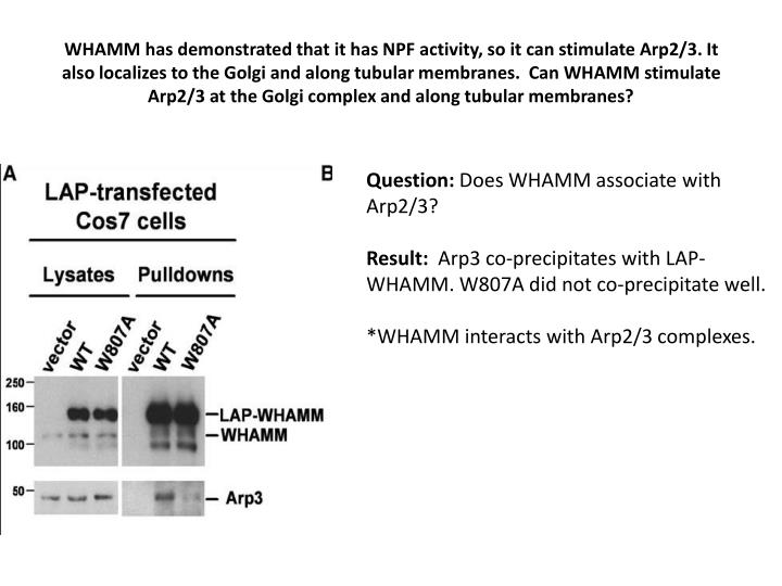 WHAMM has demonstrated that it has NPF activity, so it can stimulate Arp2/3. It also localizes to the Golgi and along tubular membranes.  Can WHAMM stimulate Arp2/3 at the Golgi complex and along tubular membranes?