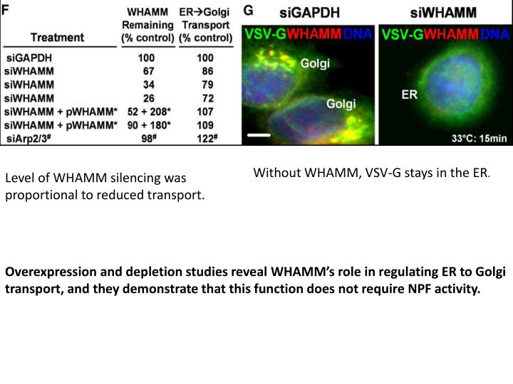 Without WHAMM, VSV-G stays in the ER