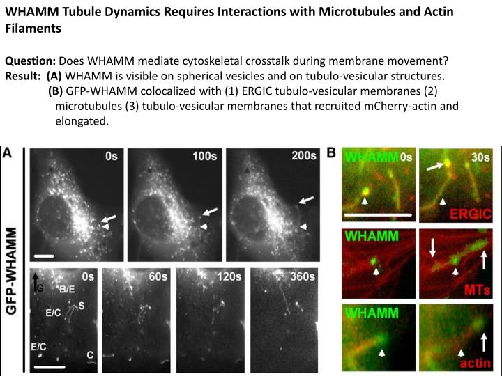WHAMM Tubule Dynamics Requires Interactions with Microtubules and Actin Filaments