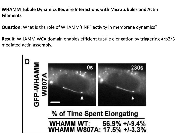 WHAMM Tubule Dynamics Require Interactions with Microtubules and Actin Filaments