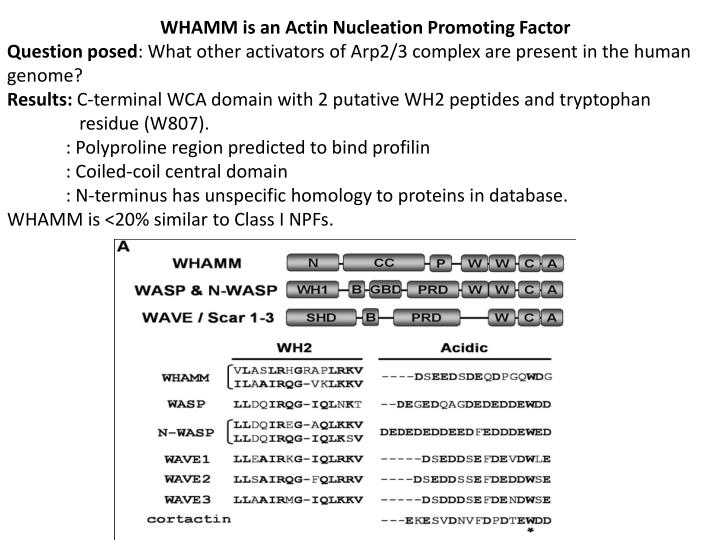 WHAMM is an Actin Nucleation Promoting Factor