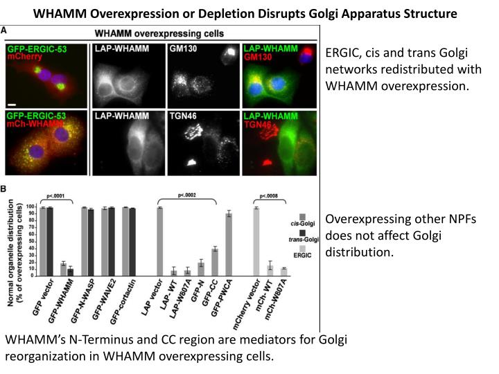 WHAMM Overexpression or Depletion Disrupts Golgi Apparatus Structure