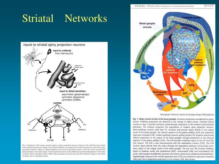 Striatal    Networks