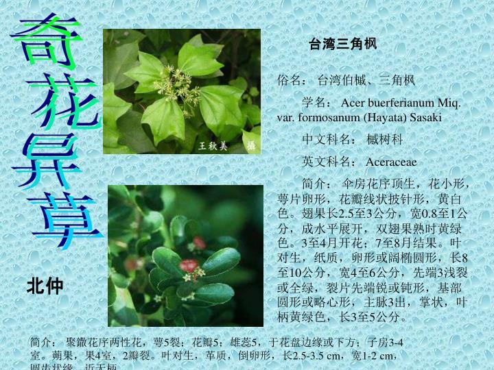 台湾三角枫