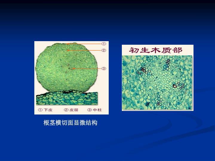 根茎横切面显微结构