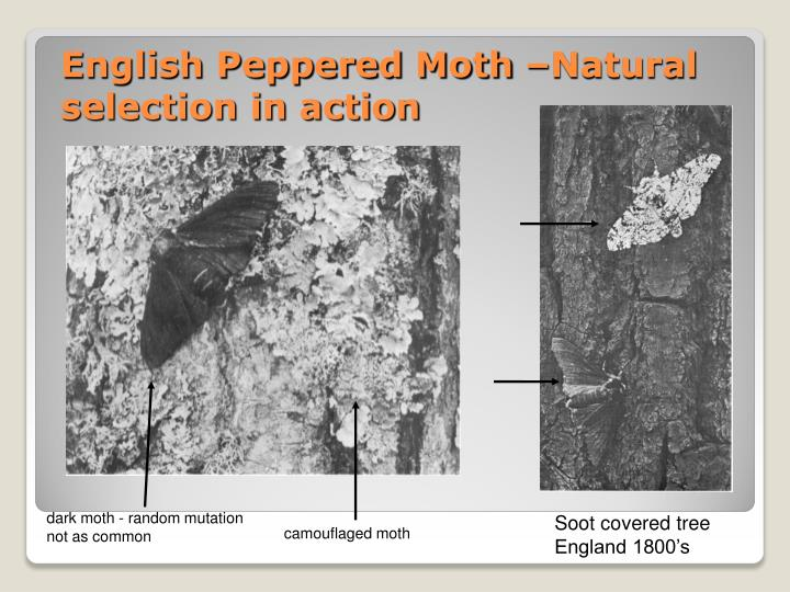English Peppered Moth –Natural selection in action