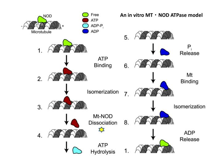 An in vitro MT ‧ NOD ATPase model