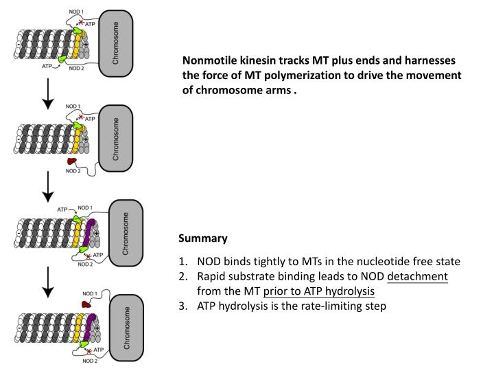 Nonmotile kinesin tracks MT plus ends and harnesses the force of MT polymerization to drive the movement of chromosome arms .
