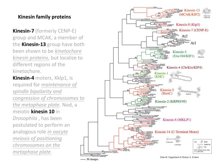 Kinesin family proteins
