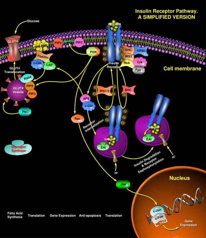 Lnsulin receptor pathway a simplified version
