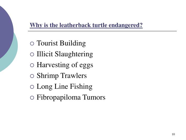 Why is the leatherback turtle endangered?