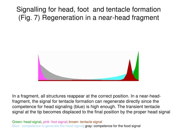 Signalling for head, foot  and tentacle formation