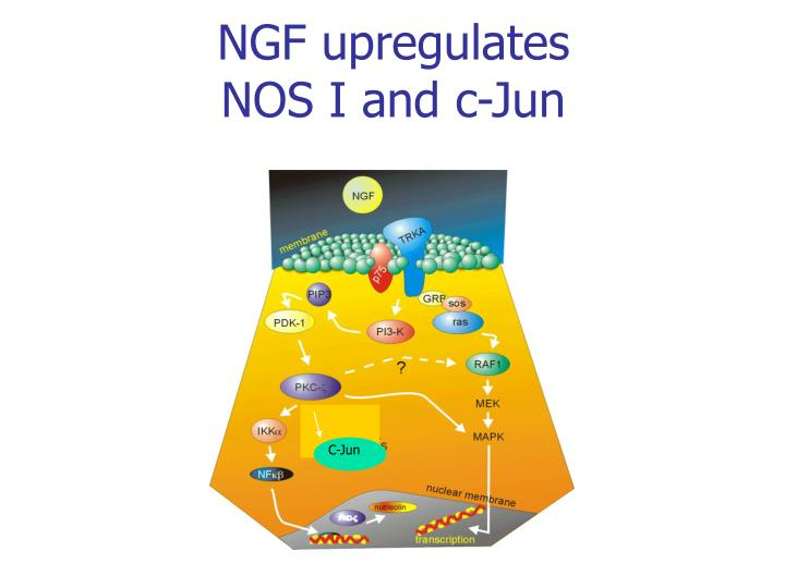 NGF upregulates