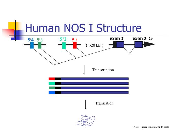 Human NOS I Structure
