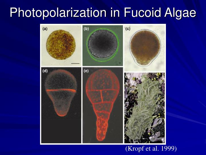 Photopolarization in Fucoid Algae