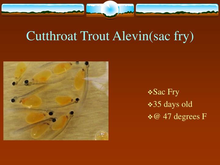 Cutthroat Trout Alevin(sac fry)