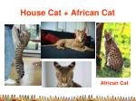 house cat african cat