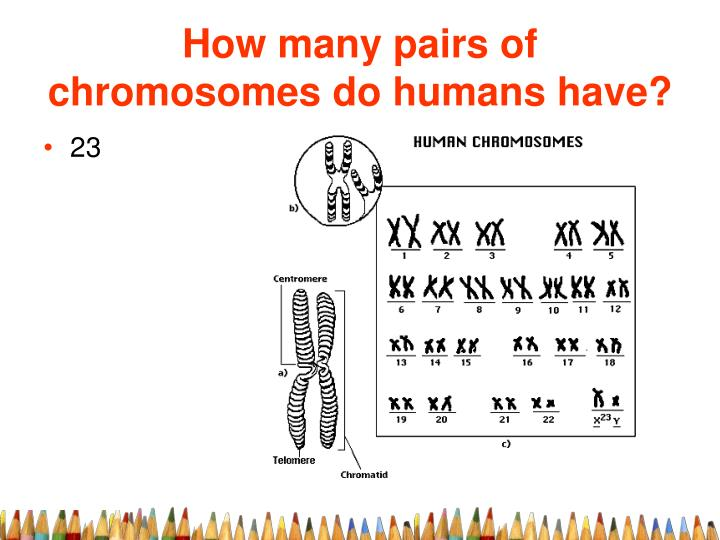 How many pairs of chromosomes do humans have?