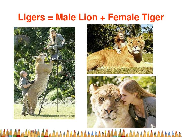 Ligers = Male Lion + Female Tiger