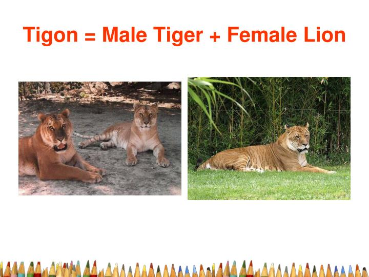 Tigon = Male Tiger + Female Lion