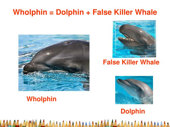 Wholphin = Dolphin + False Killer Whale